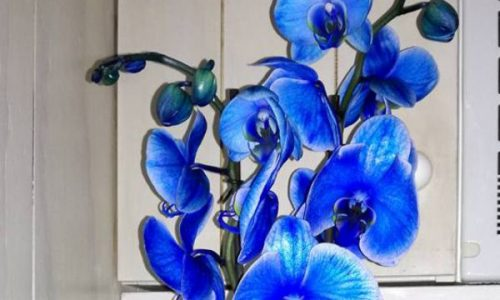 orquidea azul Aries floristass